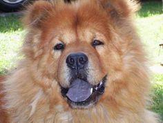Solo existen tres animales con lengua azul: el perro Chow Chow, el lagarto lengua-azul y el oso negro.