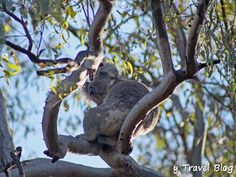 It can be tough to spot koalas in the Australian wild, but it's possible at the River Red Gum National Park in #Australia.