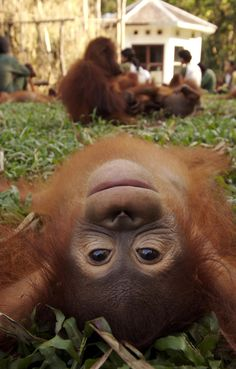 An orangutan orphan showcases his different point of view at the Nyaru Menteng Rescue and Rehabilitation Centre by WSPA Canada