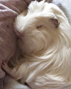 Guinea pig sleeping with eyes closed !