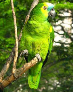 I Like Birds, All Birds, Colorful Animals, Colorful Birds, Tropical Birds, Exotic Birds, Amazon Parrot, Budgies, Parrots