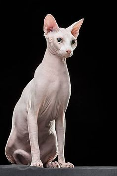 Sphynx hairless cat looking away while sitting against black background Animals And Pets, Cute Animals, Cat Anatomy, Sphinx Cat, Cat Reference, Reference Images, Cat Whisperer, F2 Savannah Cat, Cat Photography