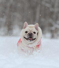 Pretty Winter Frenchie