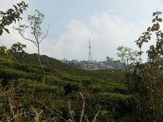 The famed Castleton Tea Garden with Kurseong town on the background.  Enjoy! #tea #teatime