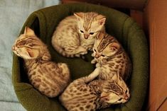 Kitty caboodle. (BENGALS!!! ah! Too cute!!)