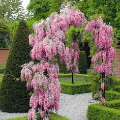 Bestel Wisteria flor. 'Rosea' -> Klimplanten voordelig en goedkoop in de webshop van Plantenweelde.