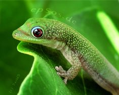 Green Gecko | Happy green gecko with cute reptile smile.