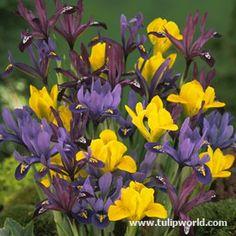 Image Mixed Tall Dutch Iris