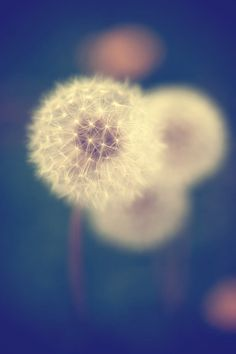 Dandelion nature photography in blue and green - 8x10 - Fine art photograph