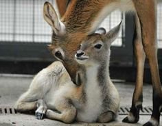 Your morning adorable: Waterbuck calf gets a nuzzle at Berlin Zoo