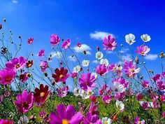 Cosmos - my mom's favorite flowers.  I am planting them this year - hopefully they would bloom like these!