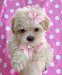 Maltipoo..oh my gosh, she is too flippin' cute!