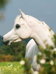 Fer Mia (US) 2001 Grey Straight Egyptian mare. JK Nasser {Ansata Sinan x MB Mindirah by Imperial Madheen} x Martinique {Ansata Sinan x Marratxi by Gual Moghar}