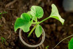 Pestovanie uhoriek v kvetináči aj záhonoch – odrody, sadenie, zaštipnutie, polievanie, choroby | TopByvanie.sk Plant Leaves, Herbs, Plants, Gardening, Lawn And Garden, Herb, Plant, Planets, Horticulture
