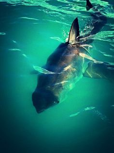 Where do great white sharks live?