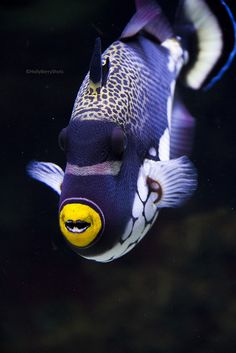 a blue and white striped fish, with little yellow mouth.
