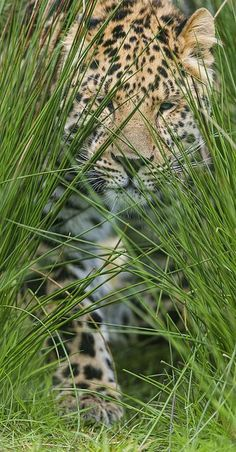 WILD LIFE, NO CAGE LIFE!!!! CAPTIVITY IS CRUEL, BOYCOTT ZOO & CIRCUS. Se ami le immagini di questa bacheca NON ANDARE AL CIRCO oppure ALLO ZOO perché gli animali NON DOVREBBERO ESSERE IN QUEI LUOGHI ma liberi in natura. Beautiful Cats, Animals Beautiful, Cute Animals, Wild Animals, Big Cats, Cool Cats, Gato Grande, In Natura, Exotic Cats