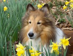 .We had a dog that looked exactly like this except for the dark part of the ears. Lady. How she loved life. She loved to eat the best of the raspberries and I didn't mind for the spiders were terrible that year, huge ones.