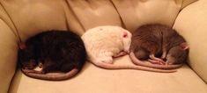 Rat Nap