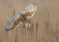 Barn Owl  by Paul C Summers, via Flickr