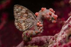 Flying Pygmy Seahorse...REALLY, I WILL LOOK THIS UP