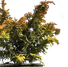 My favorite Hinoki Cypress, The Fernspray Gold. Delicious color are a feast for the eyes in the middle of winter!