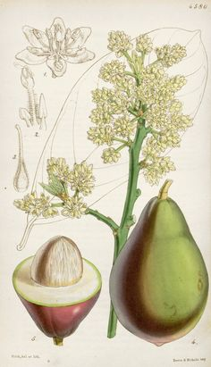 Avocado Botanical Illustration circa 1851 by Walter Hood Fitch (1817-1892)