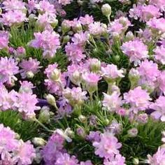 Armeria (Sea Thrift)