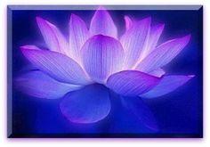 Flor Lótus azul e rosa.