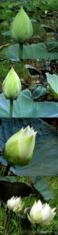 The White Lotus are Going Out of Season