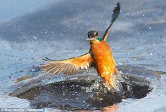 Ice fishing Kingfisher