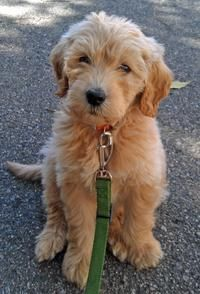 Alf the Goldendoodle