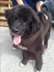Border Collie/Newfoundland Mix Dog Animals Pinterest