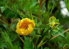 Paeonia (peony) : delavayi var. lutea