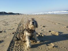 This Miniature Schnauzer was thoroughly enjoyed the pristine sandy beaches of the Outer Banks.