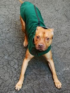★3/20/15 STILL THERE! WHY IS THIS SWEET BOY STILL THERE???? PLEASE PIN AND SHARE THIS LOVEBUG!! HE'S RUNNING OUT OF TIME!!!★SUPER-URGENT 1/30/15★Manhattan Center   TERRY - A1025358  *** EXPERIENCED HOME ***  MALE, BROWN, PIT BULL MIX, 3 yrs OWNER SUR - EVALUATE, NO HOLD Reason NO TIME  Intake condition EXAM REQ Intake Date 01/13/2015 http://nycdogs.urgentpodr.org/terry-a1025358/?hc_location=ufi