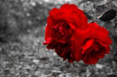 Nature Photography Red Roses on Black and by BurrCampCreations, $35.00