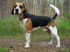 American Fox Hound dog photo   American Foxhound vs Beagle in Dog Breeds