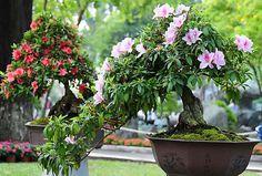 azalea-bonsai show