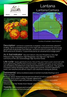 Weeds as Soil Indicators - Lantana