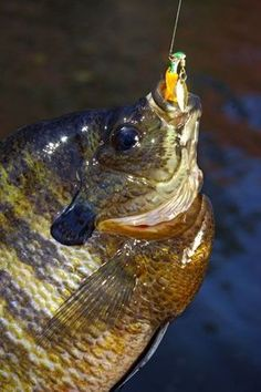 Catch more trophy bluegill than ever before with these great tips from Keith Sutton. Check them out at Game & Fish.
