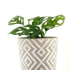 How to pick the right pot for your plants and your home! #monstera #monsteraadansonii #swisscheeseplant #homedecor #plantstyling #plantdecor #indoorplantpots