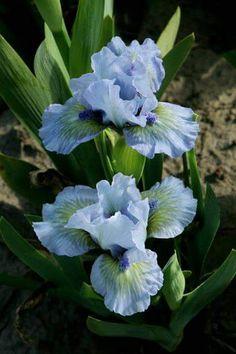 Iris 'Green oasis'. Iris Flowers, Types Of Flowers, Blue Flowers, Planting Flowers, Beautiful Flowers, Fall Planting, Sun Garden, Iris Garden, Garden Plants
