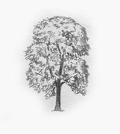 ash tree drawing