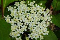 How to Grow Black Haw Viburnum in Your Garden