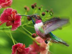 hummingbirds | Hummingbirds Pictures, Hummingbirds Photos