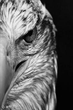 Bald Eagle Tattoos, Eagle Head Tattoo, Lion Tattoo, Eagle Wallpaper, Lion Wallpaper, Animal Wallpaper, Eagle Images, Eagle Pictures, Bold Eagle