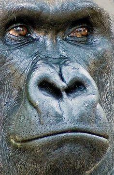 Eye Close Up Photography Wisdom 21 Super Ideas Primates, Mammals, Beautiful Creatures, Animals Beautiful, Silverback Gorilla, Gorilla Gorilla, Regard Animal, Animals And Pets, Cute Animals
