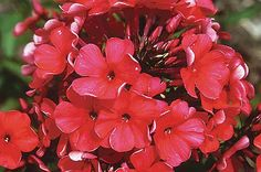 Top 10 Red Flowers to Attract Hummingbirds  Garden Phlox (Phlox paniculata, Zones 3 to 8)  Garden phlox is a resilient plant that continues blooming throughout the season with the help of a little deadheading. Grow this charmer in full sun. It reaches up to 36 inches high and wide.  Why we love it: Newer varieties resist powdery mildew. Ask your local nursery for mildew-resistant picks, or look for the Flame series.