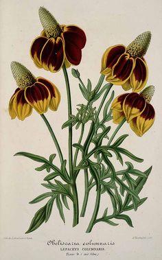 30454 Ratibida columnifera (Nutt.) Wooton & Standl. [as Obeliscaria columnaris DC.] / L' Illustration horticole, vol. 4: t. 121 (1857)
